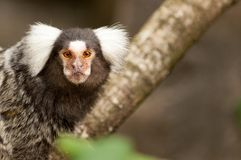 A marmoset on a branch stock photo