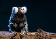 Marmoset. Close up shot of marmoset portrait Stock Photos