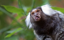 Marmoset commun Photo stock