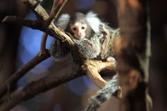 Marmoset commun Photo libre de droits