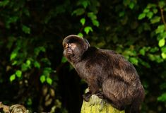 Marmoset de singe Images stock