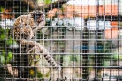 Marmoset in der Gefangenschaft Lizenzfreies Stockbild