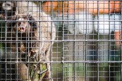 Marmoset in der Gefangenschaft Stockfoto