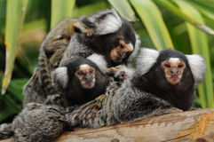 Marmoset family Royalty Free Stock Photo