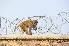 Marmoset guenon crawling on a fence with barbed wire Stock Photography