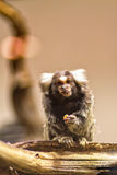 Marmoset Having Lunch Royalty Free Stock Images