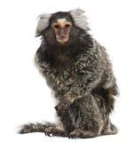 marmoset jacchus callithrix общий Стоковая Фотография RF