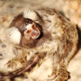 Marmoset looking Royalty Free Stock Photo