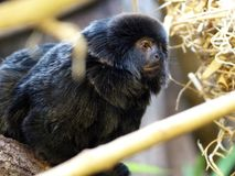 Marmoset, monkey, animal sitting on a branch Stock Image