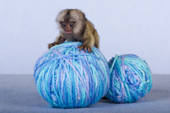 Marmoset monkey on balls of yarn Royalty Free Stock Photography
