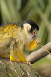 Marmoset monkey on a branch Royalty Free Stock Photography