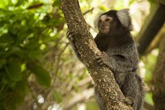 Marmoset Monkey on Branch. In South Africa Stock Images