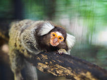 A marmoset monkey is climbing on the branch. Royalty Free Stock Photo