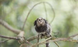 Marmoset Monkey Royalty Free Stock Image