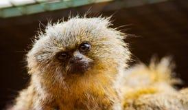 Marmoset monkey. A detailed shot of a curious Marmoset monkey Stock Photography
