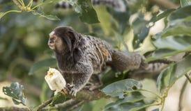 Marmoset Monkey Royalty Free Stock Photos
