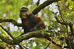 Marmoset monkey on a green tree in africa Stock Photos