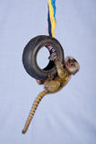 Marmoset monkey holding onto toy tire Stock Photo