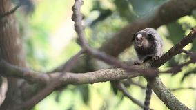 Marmoset monkey stock video