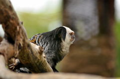 Marmoset monkey Royalty Free Stock Photos