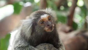 Marmoset monkey Royalty Free Stock Images