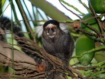 Marmoset monkey in palm tree Stock Photos