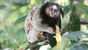 Marmoset monkey stock video footage