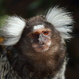 Marmoset monkey Stock Photo