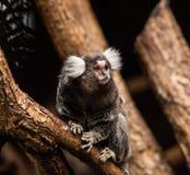 Marmoset monkey Stock Photography