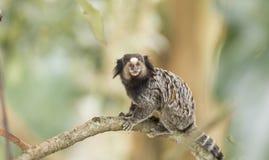 Marmoset Monkey Stock Photos