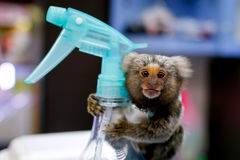 A marmoset monkey with a spraying canister. A marmoset monkey holds on to a spraying canister at a shop in Bangkok, Thailand Stock Images