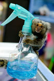 A marmoset monkey with a spraying canister. A marmoset monkey holds on to a spraying canister at a shop in Bangkok, Thailand Royalty Free Stock Photos