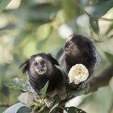 Marmoset Monkey Stock Image