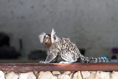 A Marmoset monkey Stock Images