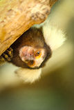 Marmoset monkey Royalty Free Stock Photo