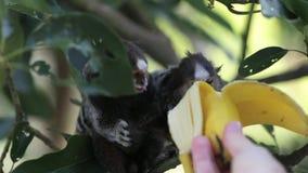 Marmoset monkeys stock video footage