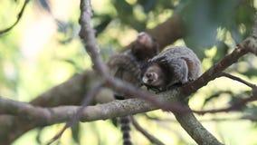 Marmoset monkeys stock footage