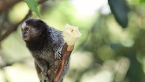 Marmoset monkeys stock video