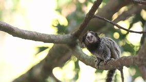 Marmoset monkeys. Two Marmoset monkeys looking curious and jumping around tree branches stock video footage