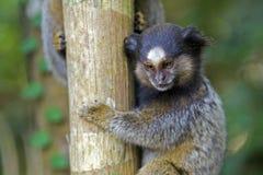 marmoset Noir-tufté Image libre de droits