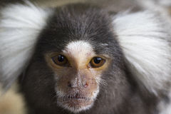 Marmoset Royalty Free Stock Image