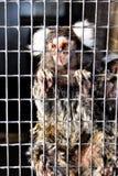 Marmoset prigioniero triste Fotografie Stock Libere da Diritti