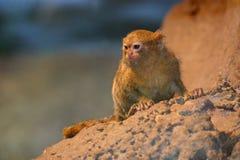 marmoset pygmy Στοκ Εικόνες