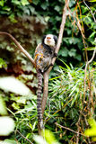 Marmoset Royalty Free Stock Photo
