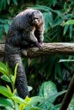 Marmoset Sitting on Tree Stock Images