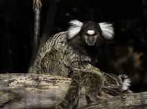 Marmoset on the tree Stock Photography
