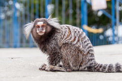 Marmoset Royalty Free Stock Images