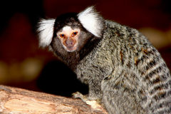 Marmoset white forelock Royalty Free Stock Photos