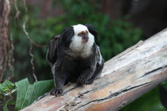Marmoset White-headed Fotos de Stock
