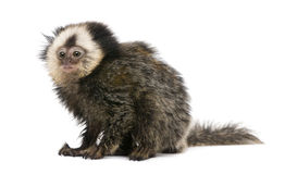 Marmoset White-headed de encontro ao fundo branco Fotografia de Stock Royalty Free